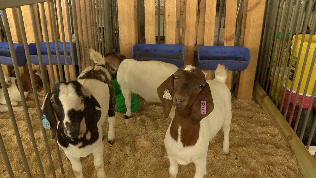 4-H clubs are coming together to show their livestock at the Scotts Bluff County Fair.