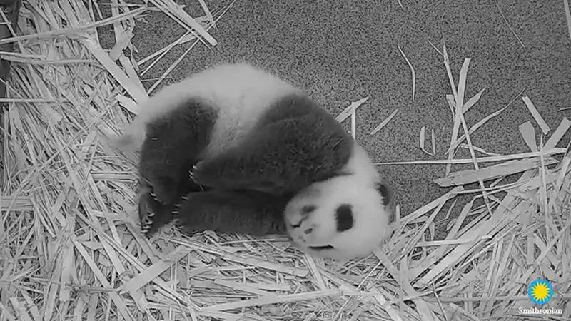 The National Zoo's 9-week-old giant panda likes to sleep on his side and back.