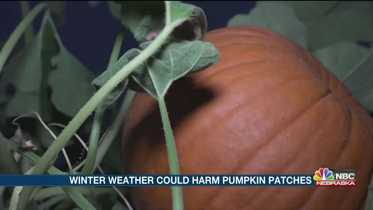 Wintry system spared the pumpkin patch.